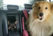 питомцы в машине